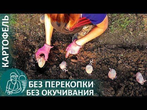 Игорь лядов выращивание картофеля