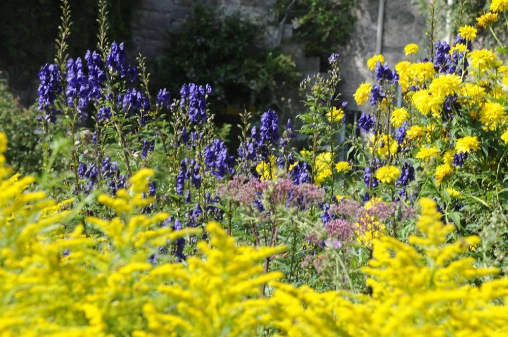 Аконит: описание растения и его размножение