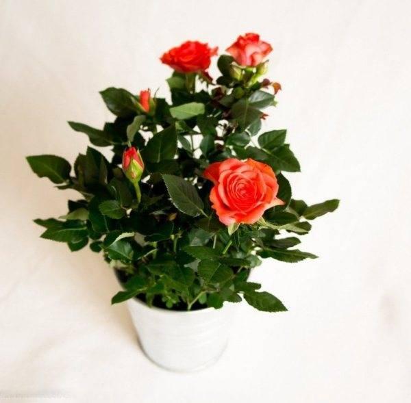 Роза «кордана» (34 фото): уход за розой сорта «кордана микс» в саду. как обрезать мини-розы в домашних условиях? зимовка миниатюрных роз