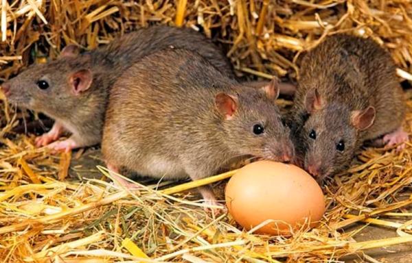 Как избавиться от крыс в курятнике навсегда?