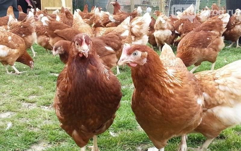 Как определить возраст курицы-несушки по гребешку?