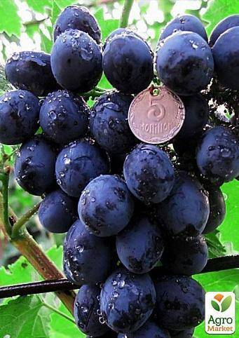 Виноград сфинкс: описание, фото и отзывы