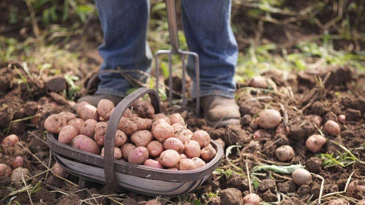 Трактором копать картошку