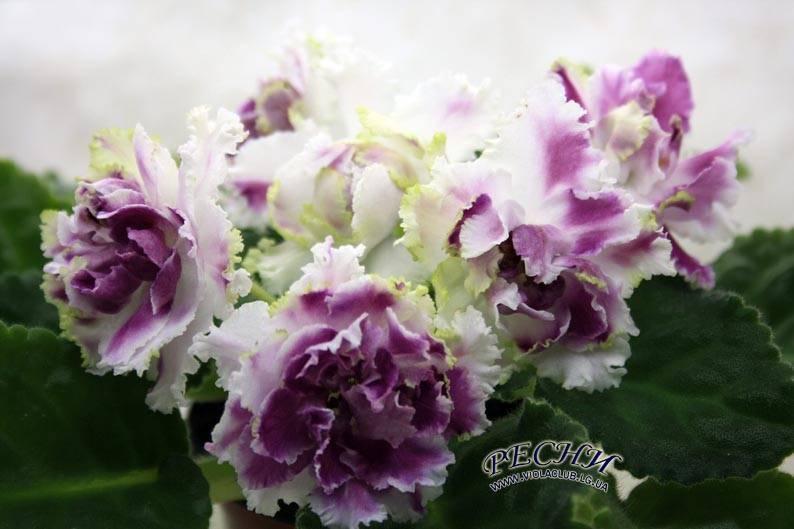 Фиалка «ледяная роза» (22 фото): описание сортов pc-ледяная роза и ле-ледяная роза