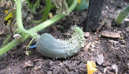 Огурцы кривые или растут крючком: причины и что делать, чем подкормить
