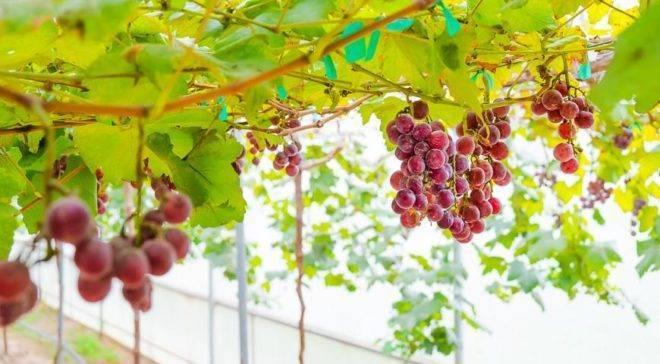 Когда открывать виноград после зимовки?