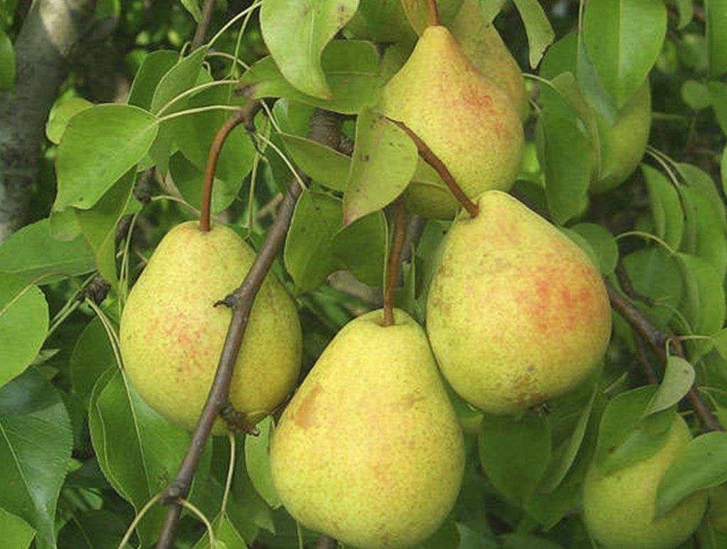 Полное описание зимнего сорта груши белорусская поздняя - плодовые деревья - 2020