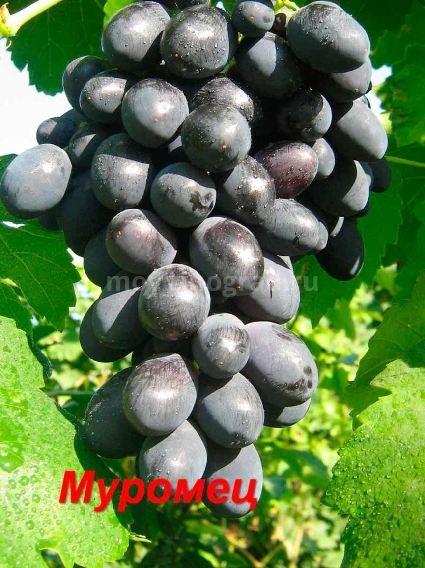 Виноград муромец описание сорта фото отзывы видео