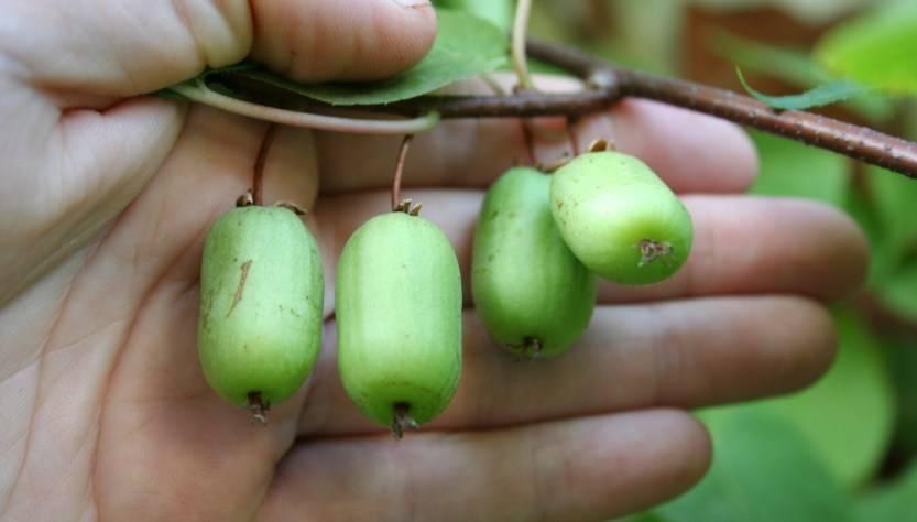 Актинидия: описание и характеристики, посадка, уход, выращивание