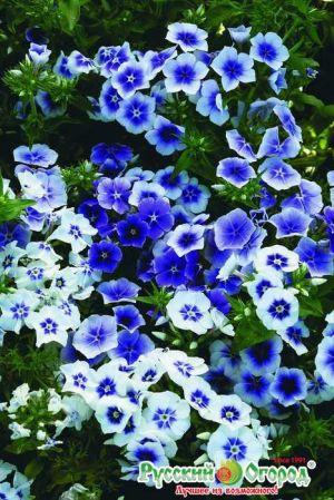 Виды и сорта синих (голубых, синеющих) флоксов: Ночка, Туман (характеристики)