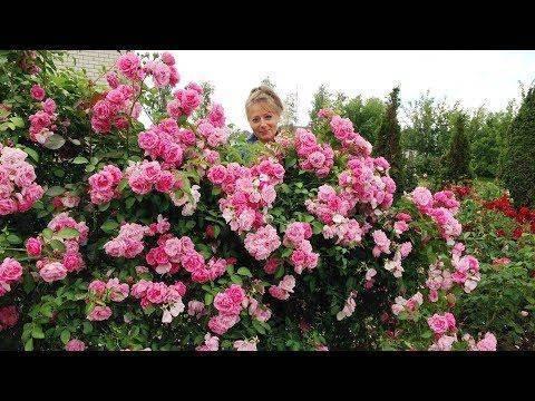 Зимостойкие сорта плетистых роз для подмосковья