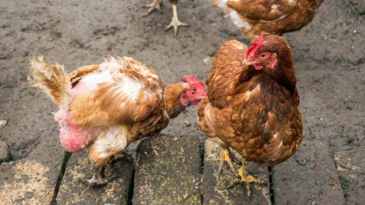 Причины расклева у цыплят белых пород кур и как лечить