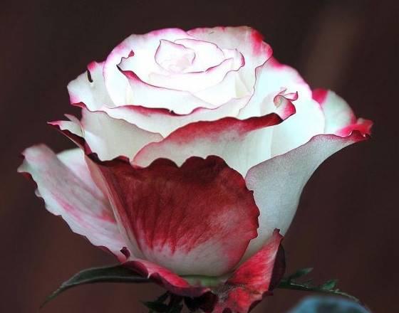 Роза свитнес фото и описание отзывы