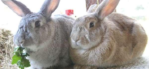 Чем лучше кормить кроликов для быстрого набора веса?