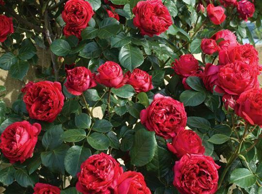 Роза чайно-гибридная карибиа - описание сорта, фото, особенности агротехники | о розе