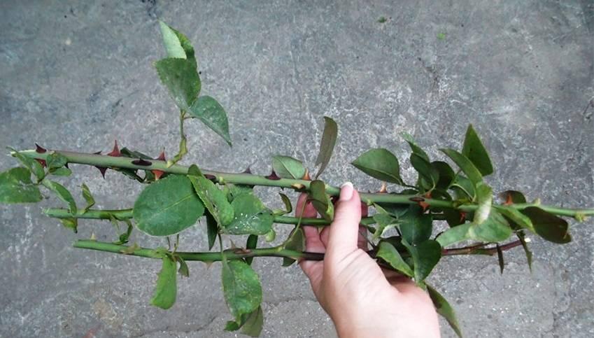 Роза в картошке: как вырастить цветок в условиях дома?