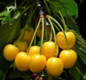 О черешне Россошанская золотая: описание и характеристики сорта, посадка, уход