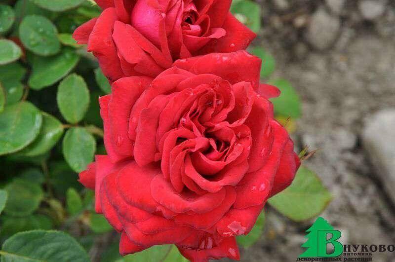 Посадка и уход за чайно-гибридной розой сорта бургунд 81: как выращивать цветок