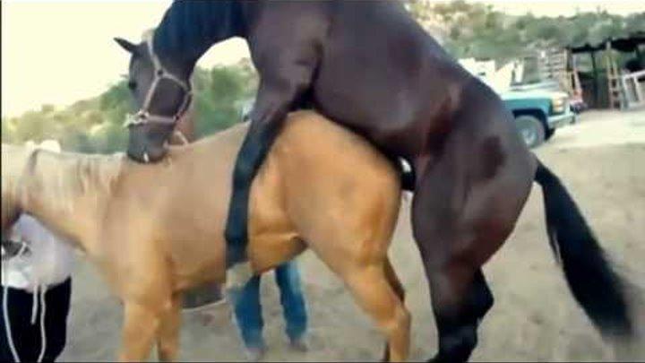 Организация размножения лошадей, биологические предпосылки размножения лошадей, проявление охоты способы овуляции у кобыл, признаки охоты овуляция у кобыл, ручная варковая косячная вольная случка лошадей, искусственное осеменение, разведение лошадей
