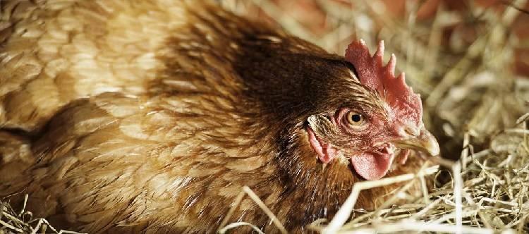 Почему куры клюют яйца, и что при этом делать?