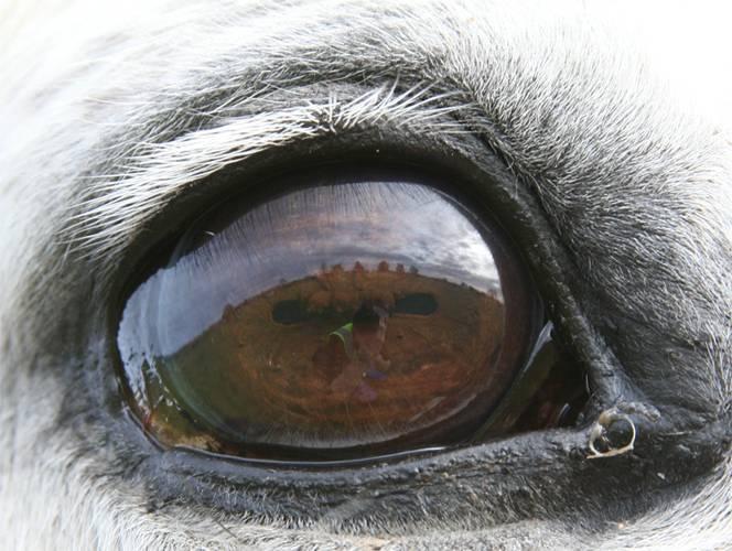 Особенности зрительного анализатора у лошадей