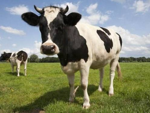 Когда корова начинает давать молоко? как раздоить ее после отела? через сколько доить ее после отела? что будет, если этого не делать?
