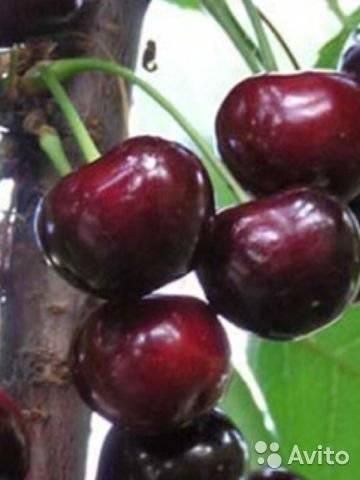 Характеристика урожайного украинского сорта вишни чернокорка
