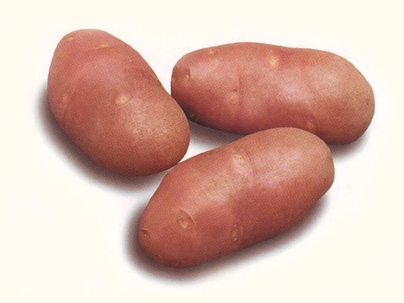Особенности выращивания картофеля ред скарлет, фото