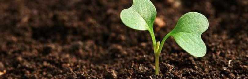 Благоприятные дни для посадки цветной капусты в 2020 году: таблица по дням и месяцам