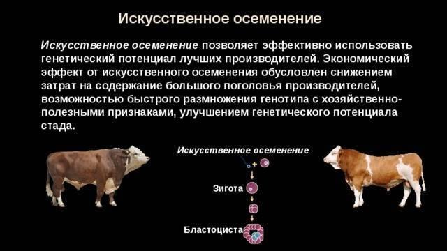 Статьи по разведению крс на korovainfo.ru | оптимальное время и кратность осеменения коров