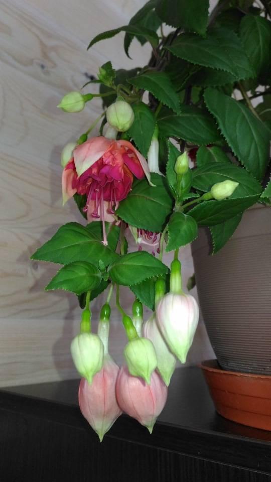 Причины опадания и нераскрытия бутонов у орхидеи, методы борьбы с этим