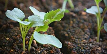 Сеем капусту на рассаду, когда нужно сажать, сроки посадки и особенности