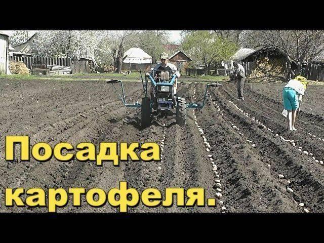 Как мотоблоком посадить картофель: особенности и методы посадки