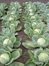 Основные способы и особенности посадки капусты