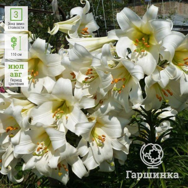 Белая лилия кандидум или цветок мадонны.