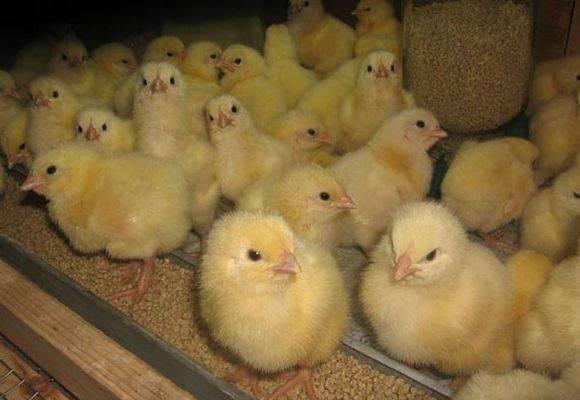 Почему дохнут цыплята: что делать и чем лечить