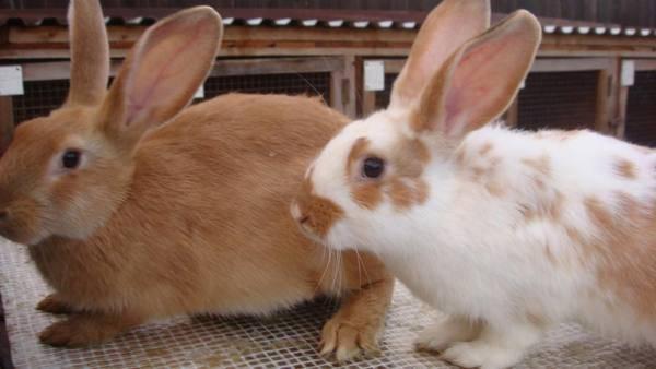 Чем лечить понос у кролика?