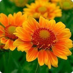 Гайлардия многолетняя (54 фото): посадка и уход за цветком, выращивание из семян, виды остистая и низкорослая, сорта «бургунди» и «восточные узоры»