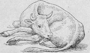 Послеродовой парез у коров – лечение и признаки 2020