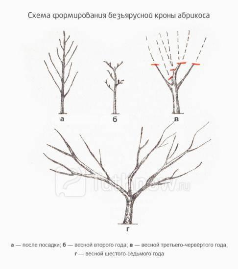 Обрезка абрикоса: формируем крону учитывая особенности дерева