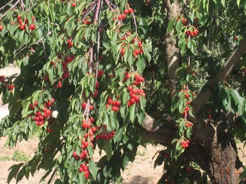 Черешня в краснодарском крае: когда она созревает, когда можно собирать урожай