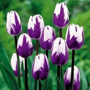 Разновидности и сорта тюльпанов – описание всех классов тюльпанов и их особенностей