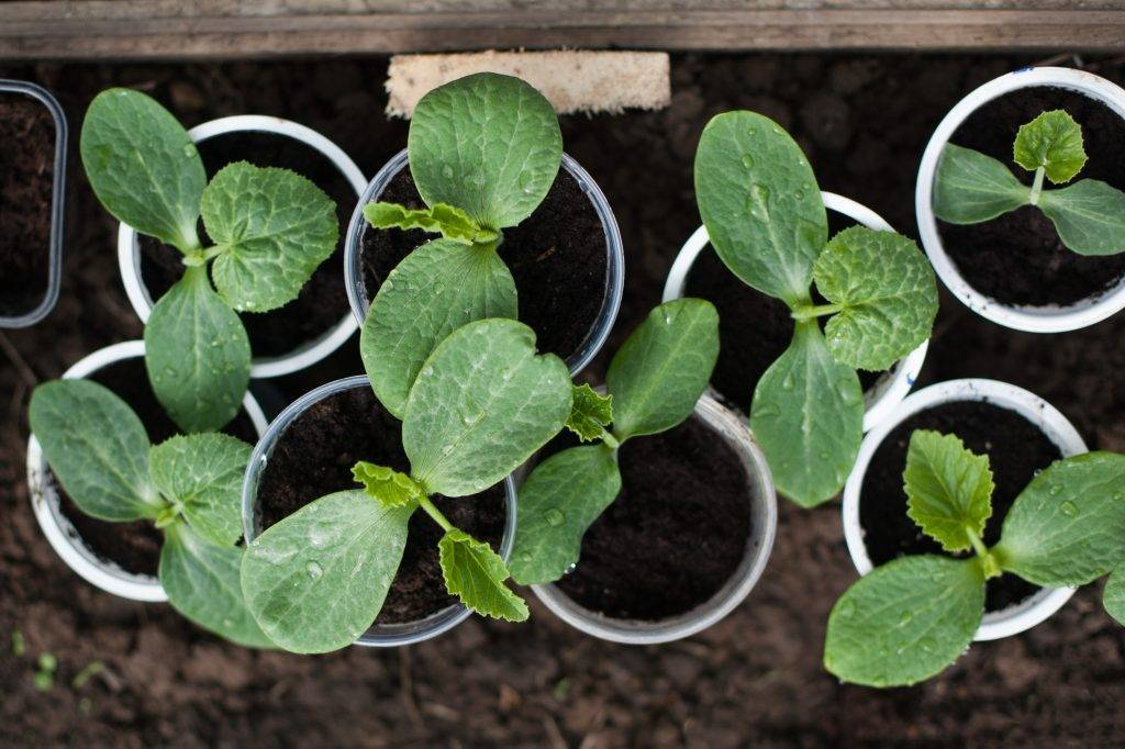 Совместимость овощных культур при посадке