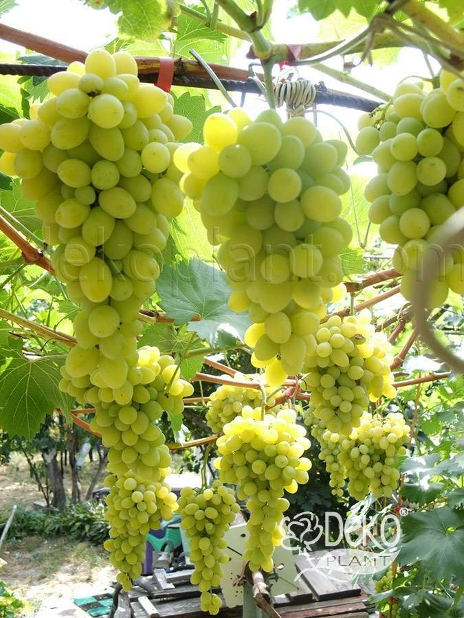 Виноград сорта «плевен», описание и фото