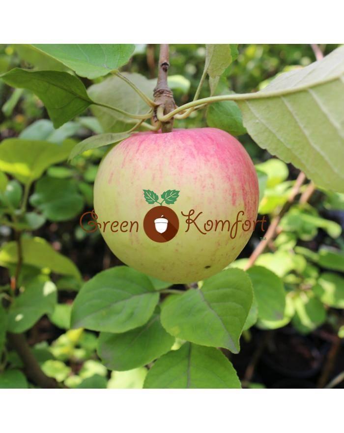 Сорт яблок персиянка