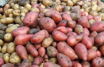 Ранний урожай для мудрых огородников — картофель «минерва»: описание сорта и фото