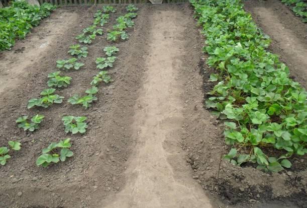 Пересадка клубники летом, осенью и весной на новое место: когда сроки и как правильно размножать кусты