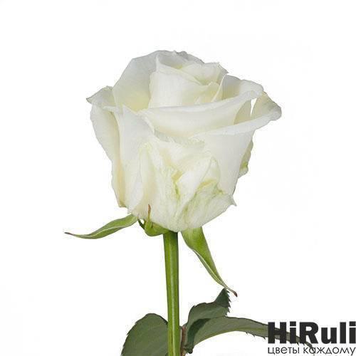Сорта на букву: p :: энциклопедия роз