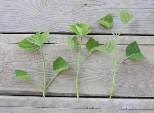 Размножаем любимый сорт гортензии зелеными черенками