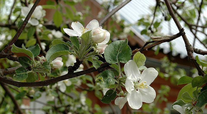 Об уходе за яблоней после посадки: как окапывать, мульчировать, подвязать